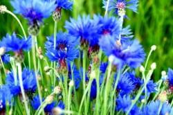 Цветы василька при уретрите у женщин