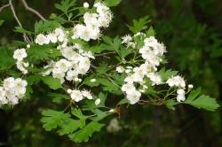 Цветы боярышника для лечения гипертиреоза