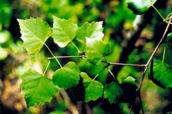 Листья березы при ревматизме