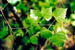 Листья березы для лечения секущихся кончиков волос