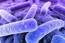 Бактерии Bordetella pertussis
