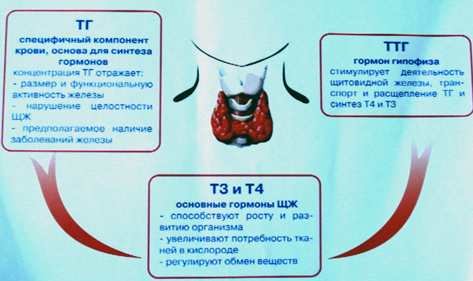 регуляция гормонов щитовики